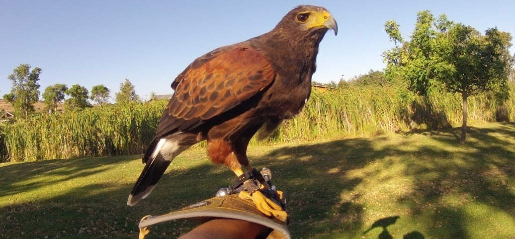 One Hour Falconry Hawk Walk in Cape Town-1