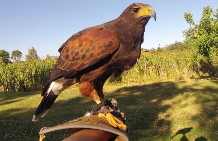 One-Hour-Falconry-Hawk-Walk-in-Cape-Town-new-big-6.jpg