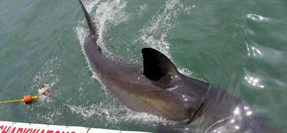 Shark Cage Diving Experience in Kleinbaai-3
