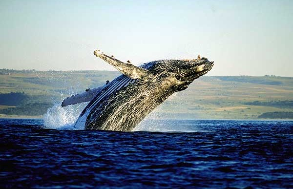 Whale Watching in Hermanus Tour.jpg