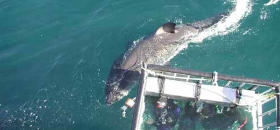White Shark Cage Diving Experience - Mossel Bay-3